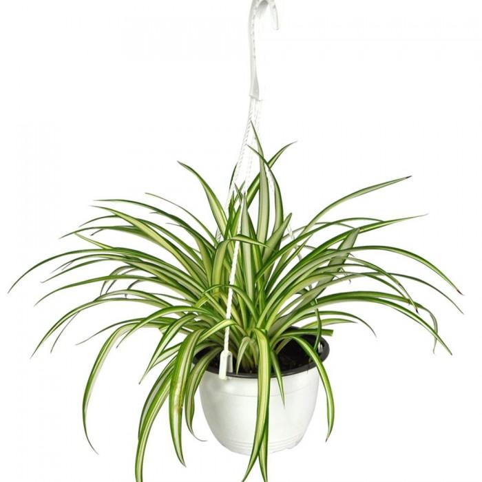 Plante-Chlorophytum-Plante Araignée