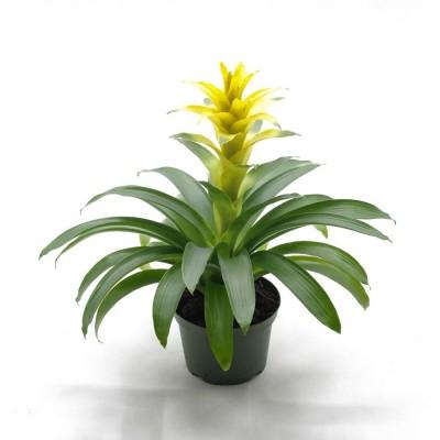 Plante - Bromélia jaune - 6 pouces