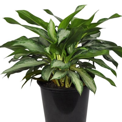 Plante - Aglaonema - Diamond-Bay