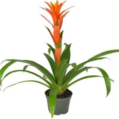 Plante - Bromélia orange - 6 pouces