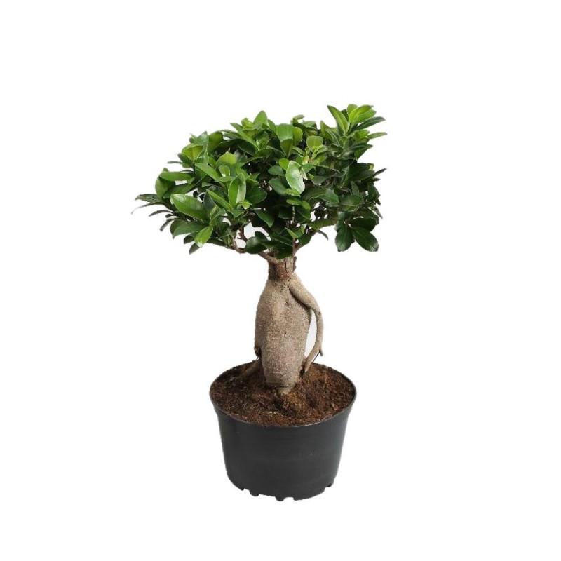Plante - Ficus Ginseng