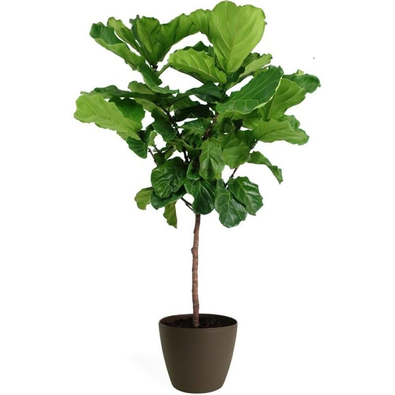 Plante - Ficus - Lyrata - Arbre - 10 pouces