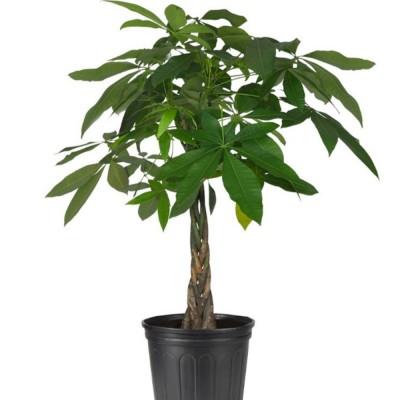 Plante - Pachira Aquatica - Money Tree