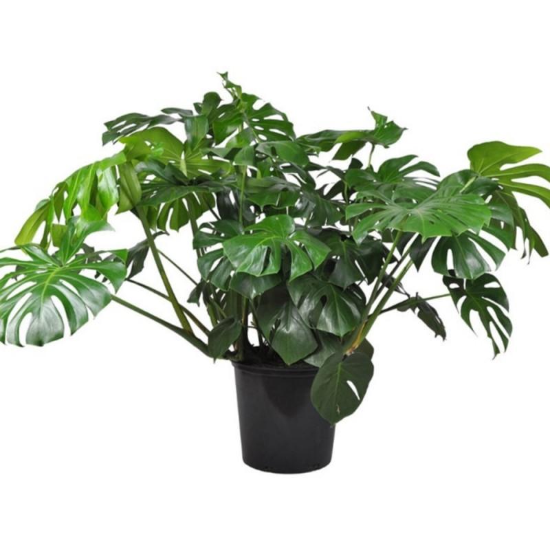 Plante - Philodendron - Monstera