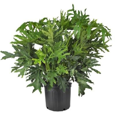 Plante - Philodendron - selloum