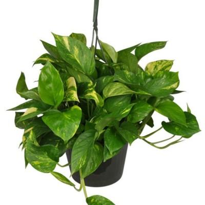 Plante - Pothos  scindapsus - Suspendu