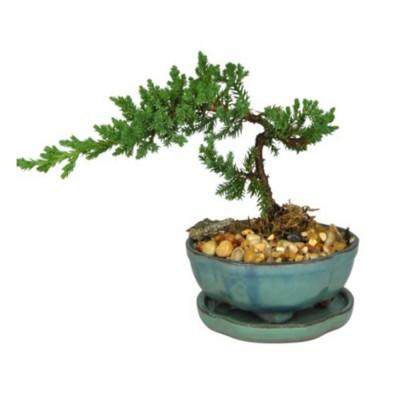 Plante - Bonzai