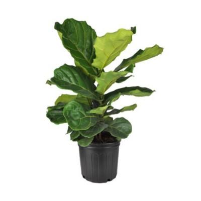 Plante - Ficus - Lyrata - Buisson - 6 pouces
