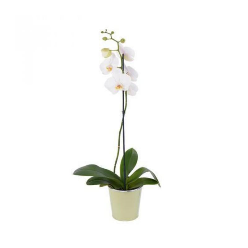 Plante - Orchidée - Phalaenopsis