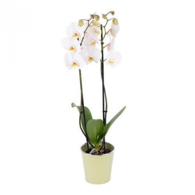 Plante - Orchidée - Phalaenopsis - 2 tiges