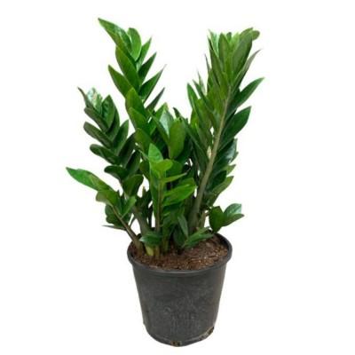 Plante - Zamioculcas Zamiifolia - Plante ZZ